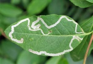 minatrice-foglie