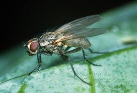 mosca-cavolo