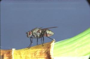 mosca-cipolle
